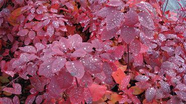 Le feuillage flamboyant du Cotinus 'Grace' en automne