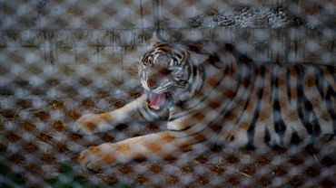 Thaïlande: course contre la montre pour sauver une soixantaine de tigres confisqués à un temple
