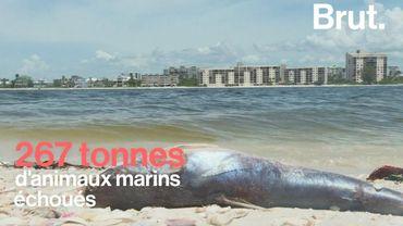 En Floride, une marée rouge toxique tue des milliers d'espèces sous-marines
