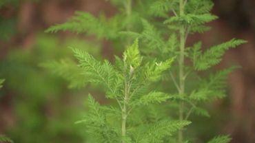 L'Artemisia, une variété cultivée en Asie et en Afrique principalement