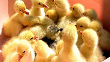 Production de foie gras, chaque années, des millions de canetons sont broyés