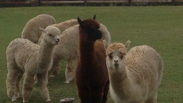 L'alpaga à la laine soyeuse a élu domicile chez nous