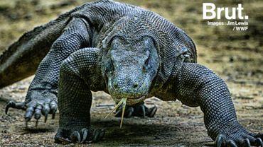 Une petite rencontre avec le dragon de Komodo? C'est le plus gros lézard au monde...
