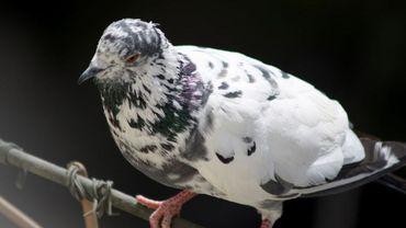 Si vous élevez des canards, des oies ou encore des pigeons, vous devez remplir un formulaire et le remettre d'urgence à l'administration communale.