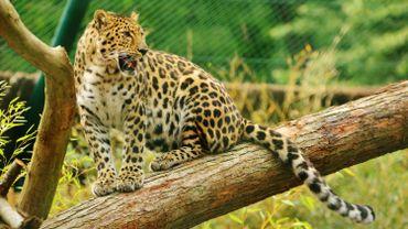 Trois léopards de l'Amour sont nés à Bellewaerde
