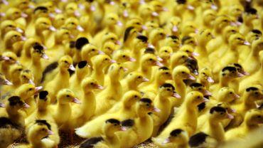 Grippe aviaire: 1,5 million de volailles abattues en Europe