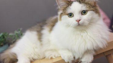 Le munchkin, le chat qui reste chaton durant toute sa vie
