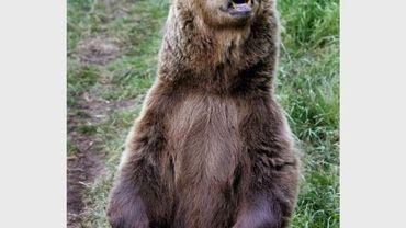 Une ourse de souche européenne se tient sur ses pattes arrières dans le parc animalier des Angles en juin 2006.