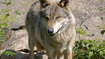 """Le ministre wallon de la Nature se base sur les conclusions du """"réseau loup"""" créé en 2017 au sein du Service public de Wallonie."""