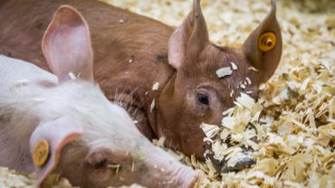 Peste porcine: trois nouveaux pays suspendent leur importation de porc belge