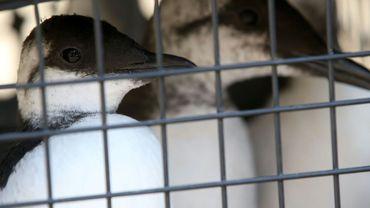 Des guillemots de Troïl soignés en Californie en octobre 2015 par l'ONG International Bird Rescue