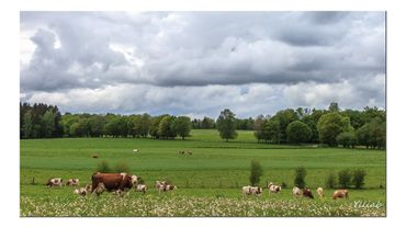 France: un TGV percute un troupeau, 20 vaches mortes