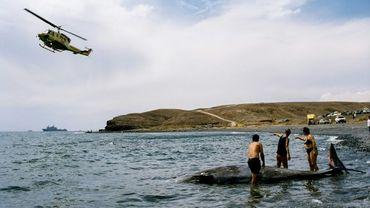 Des chercheurs tentent de sauver une baleine à bec échouée sur le rivage de l'île de Fuerteventura, aux Iles Canaries en 2002