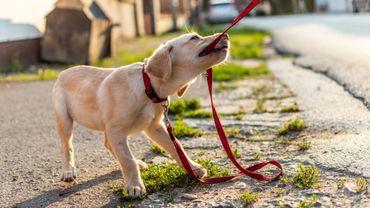 Les chiens vivraient des difficultés émotionnelles à la puberté comme les humains