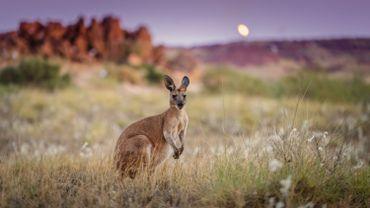 Tous les supermarchés arrêtent la vente de viande de kangourou, se félicite Gaia