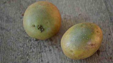La réponse de Candice: Pourquoi mes pommes de terre virent au vert?