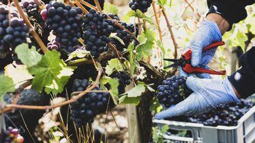 Bordeaux : vendanges atypiques et rendements moindres.