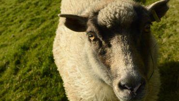 Google Sheet View: des moutons pour cartographier les Îles Féroé