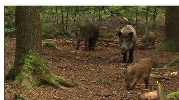 Peste porcine africaine: un cas positif découvert près d'Arlon