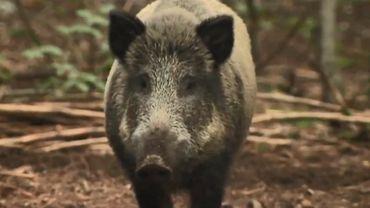Peste porcine africaine: quatre millions d'euros pour indemniser le secteur forestier