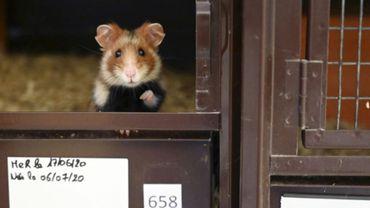Un grand hamster d'Alsace dans un élevage à Jungholtz, le 23 juillet 2020.