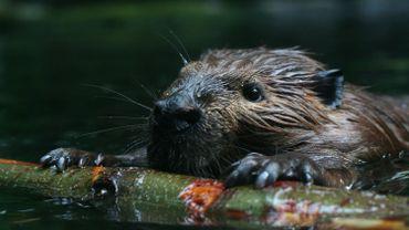 Royaume-Uni : les castors appelés en renfort pour contrer les inondations