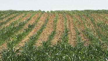Dans les champs, la croissance du maïs est fortement perturbée.