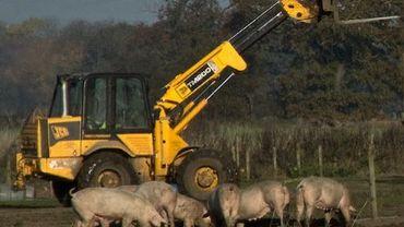 Cri d'alarme des éleveurs de porcs