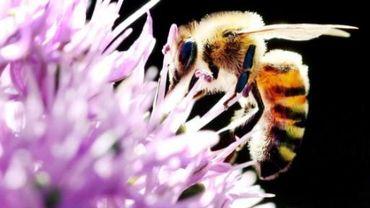 Les causes de la disparition des abeilles sont multiples. Un colloque en débattait à Gembloux