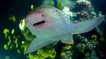 Un requin-zèbre en Allemagne
