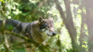 Le loup n'est plus une espèce protégée aux USA