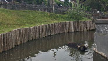 Buffles et éléphants aiment se rafraîchir en prenant un bain.