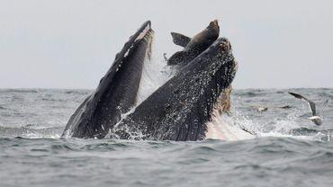 Un lion de mer tombe accidentellement dans le gueule d'une baleine à bosse dans l'océan Pacifique, au large de la Californie