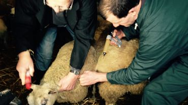 L'éleveur doit prendre en charge le coût de l'administration du vaccin par un vétérinaire.