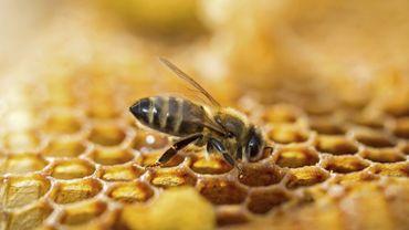 Les apiculteurs en Hesbaye s'inquiètent: les abeilles sont affamées!