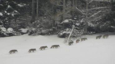 Les neufs loupsphotographiés dans le Val Tamina
