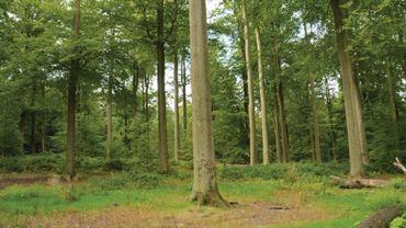 Des vestiges neolithiques sous les hêtres de la forêt de Soignes