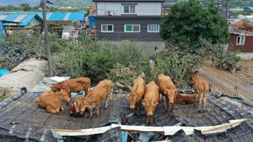 Des vaches échouées sur un toit après s'y être réfugiées lors d'une forte inondation, dans une ferme de Gurye, dans la province de Jeolla en Corée du Sud