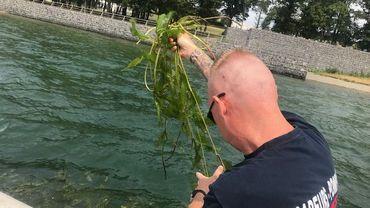 Un danger important des lacs de l'Eau d'Heure : des algues vertes filamenteuses