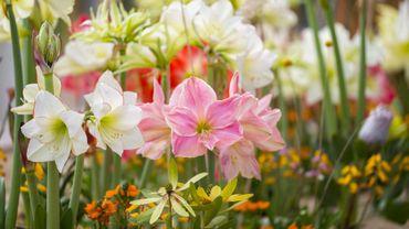 Plante d 39 int rieur du mois l 39 amaryllis for Entretenir un amaryllis