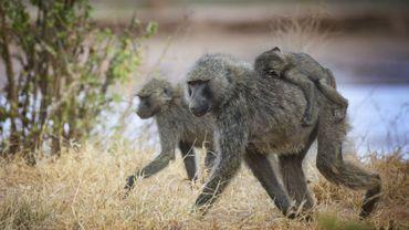Les singes aussi peuvent tirer profit de la distanciation sociale pour limiter la propagation de virus.