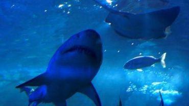 Dans nos assiettes, l'espadon est parfois du requin.