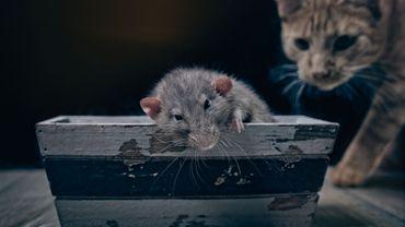 C'est l'histoire d'un animal : Deux animaux qui ont joué un rôle important lors de l'épidémie de peste noire