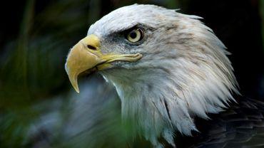Le pygargue à tête blanche est l'animal symbole des Etats-Unis