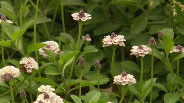 La verveine nodiflore, une plante couvre-sol sans entretien