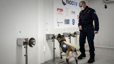 Des chiens formés pour traquer le Covid avec la sueur humaine.