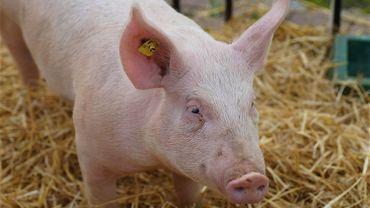 Peste porcine africaine: la Wallonie octroiera une aide exceptionnelle aux éleveurs porcins