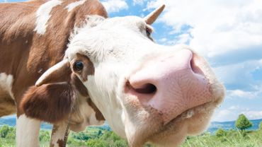 Climat: roter moins pour polluer moins, la recette des vaches heureuses