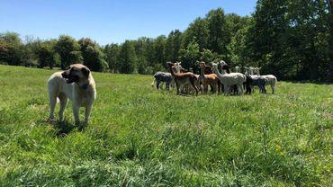 Le chien de Laurence et Éric est le gardien du troupeau d'alpaguettes