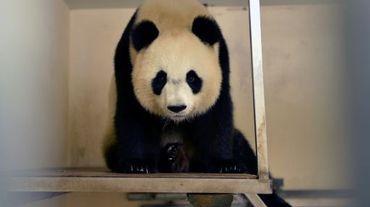 La femelle panda Huan-Huan le 23 juin 2016 au zoo de Beauval à Saint-Aignan-sur-Cher